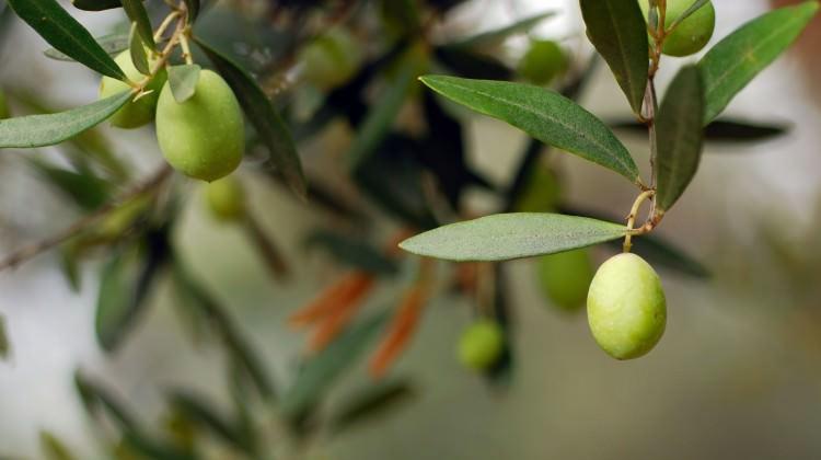 Zeytinin yaprağı da şifa deposu