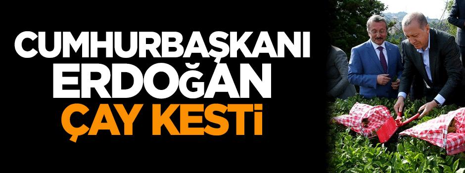 Cumhurbaşkanı Erdoğan memleketi Rize'de çay topladı!
