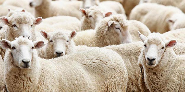 Hangi hayvanlar kurban olarak kesilir?