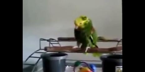 Ağlama taklidi yapan papağan