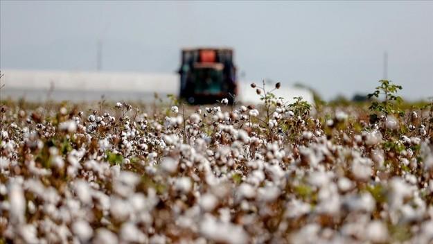Beyaza bürünen pamuk tarlalarında hasat için ter dökülüyor