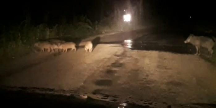 Bursa'da şehre inen domuz sürüsü böyle görüntülendi