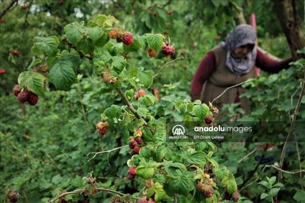 Bursa'nın 'Osmanlı köyü'nde ekonomik getirisi yüksek meyveler üretiyor