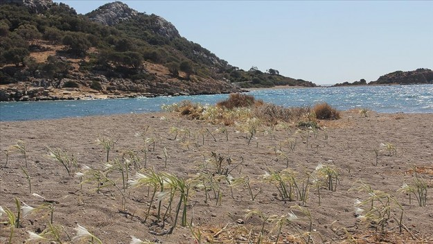 Datça'da kum zambaklarını koparanlara 80 bin 365 lira ceza kesilecek