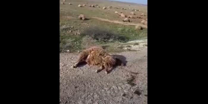 Esed rejimi askerleri ve Şii milislerinden koyun katliamı
