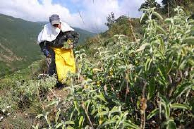 Ganos Dağı eteklerinden 7 ülkeye ada çayı ihracatı