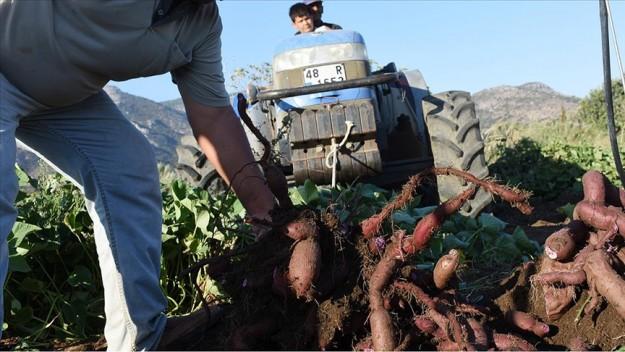 Hasadına başlanan mor patates verimi ve fiyatıyla üreticiyi sevindirdi