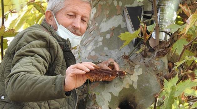 Kaçak kraliçe arı, 160 yıllık Çınar Ağacının kovuğunda bulundu!
