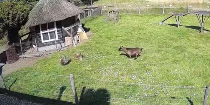 Keçi ve horoz birleşip tavuğu yırtıcı kuştan kurtardı