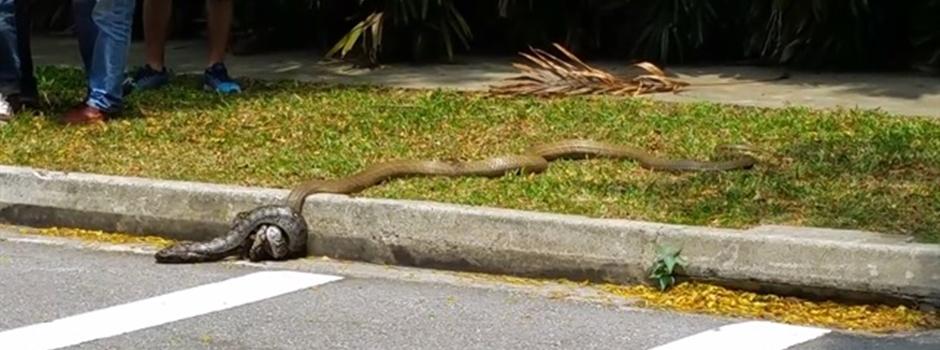 Kobra ve pitonun sokak ortası kavgası