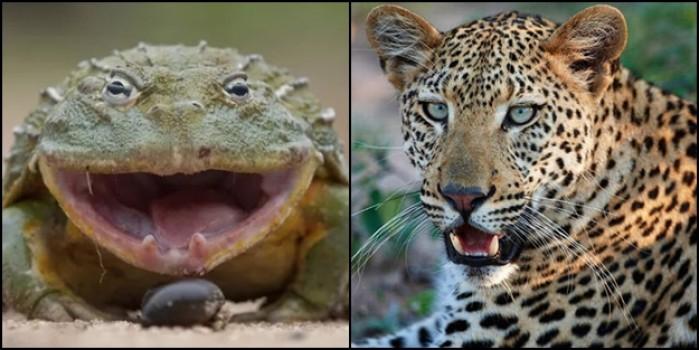 Kurbağa mı, leopar mı? Bakın savaşı kim kazandı