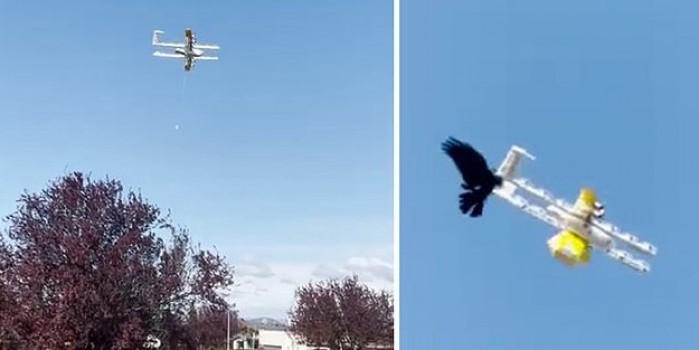 Kuzgunlar, kargo drone servisini çalışamaz hale getirdi!