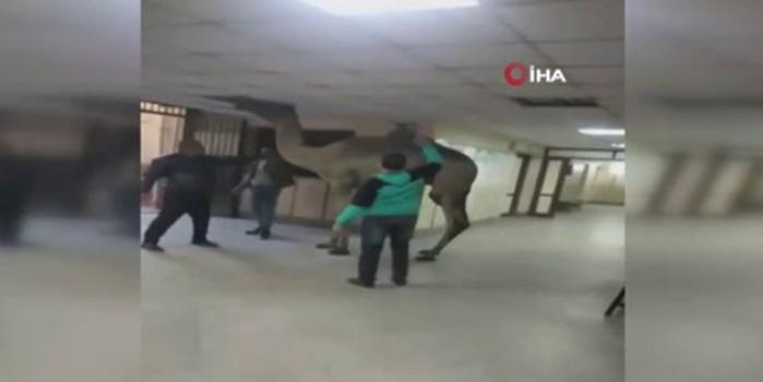 Mısır'da hastaneye giren 'deve' şaşkınlık yaşattı