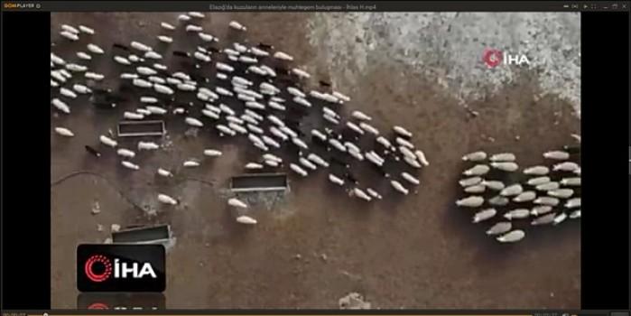 Muhteşem görsel... Kuzuların anneleriyle toplu buluşması havadan böyle görüntülendi