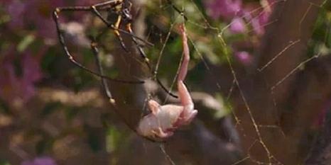 Örümcek ağına kurbağayı böyle düşürdü