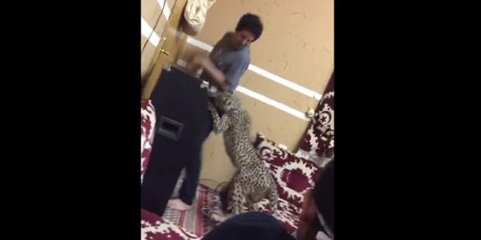 Sağa sola saldıran çita evi karıştırdı!