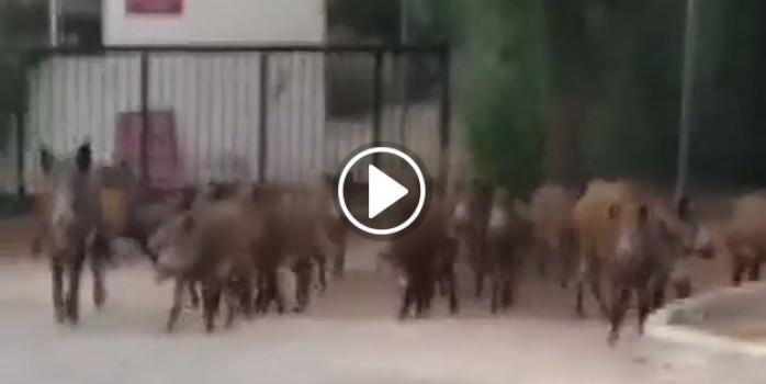 Şehre inen domuzlar polise saldırdı