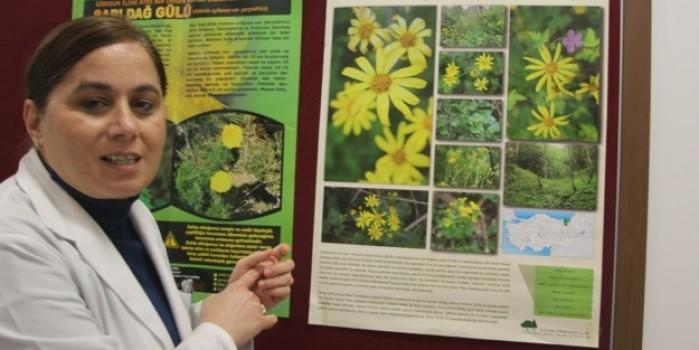 Trabzon Kanaryaotu ve Allı Gelin bitkisi hastalara şifa olacak
