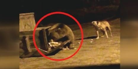 Uludağ'da köpeklerle ayının kavgası