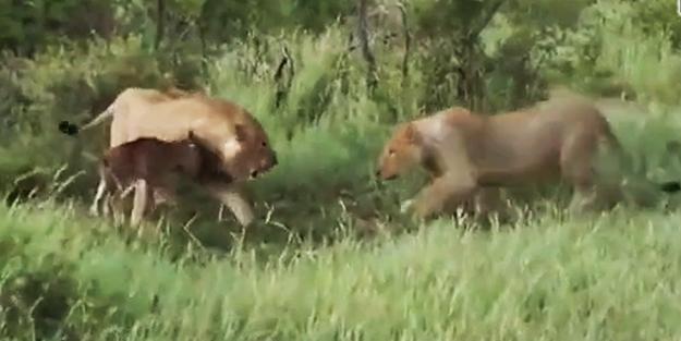 Yavru antilopu koruyan aslan!